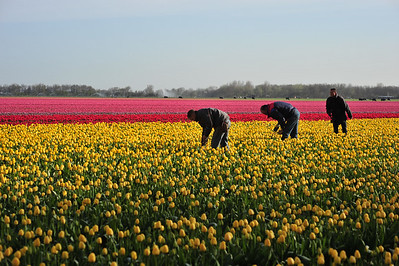 Tending the Tulips