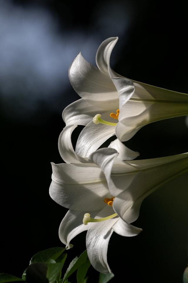 IMAGE: https://photos.smugmug.com/Flora/n-pZsrnL/Flora/i-2LZ3BH6/0/e1d80bb7/X2/IMD_8140-X2.jpg