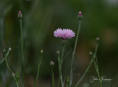 Pink Cornflower, Dorset