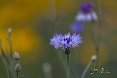 Blue Cornflower, Bournemouth