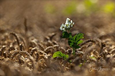 Potato plant in Wheat field