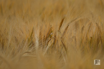 Barley, Suffolk