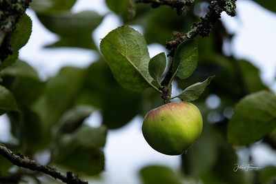 Wild Apple, Dorset