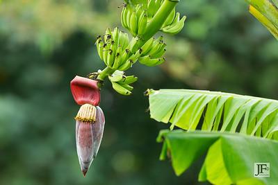 Bananas, Pulau Ubin