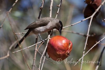 Bulbul & Pomegranate, Morocco