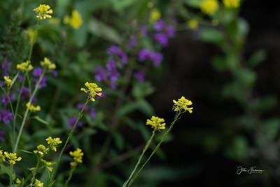 Wild Mustard, Dorset