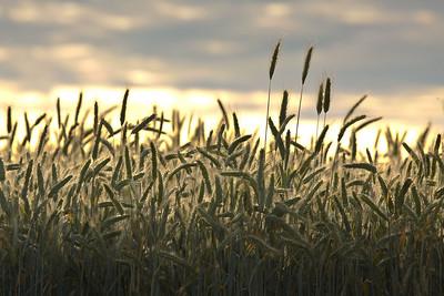 Barley sunrise