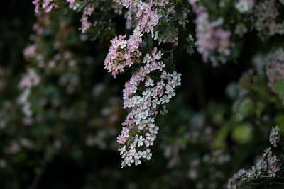 Pink Hawthorn, Wiltshire