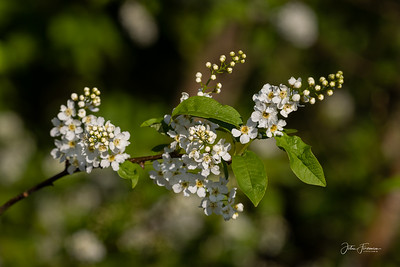 Bird Cherry, Dorset