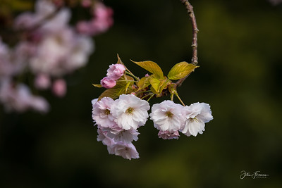 Cherry blossom, Dorset
