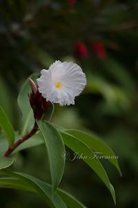 Crepe Ginger flower, Singapore