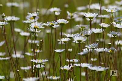 Daisy meadow, Gers
