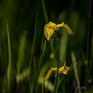 Yellow Water Iris, Hampshire