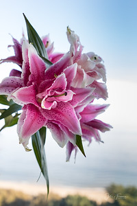 Double Pink Oriental Lily