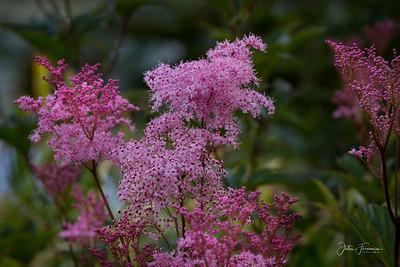 Pink Meadowsweet, Gwynedd