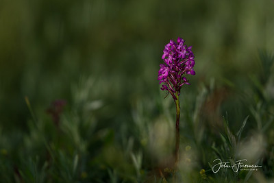 Early Purple Orchid, Gers