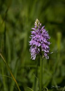 Heath Spotted Orchid, Garston Woods