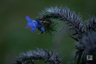 Echium (Vipers Bugloss), Gers