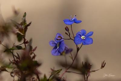 Georgia Blue, Hampshire