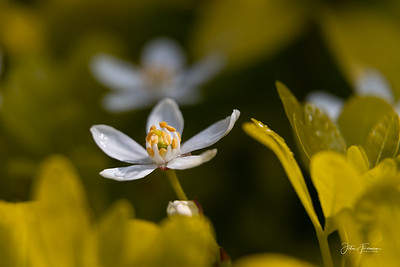 Mexican Orange Blossom, Hampshire