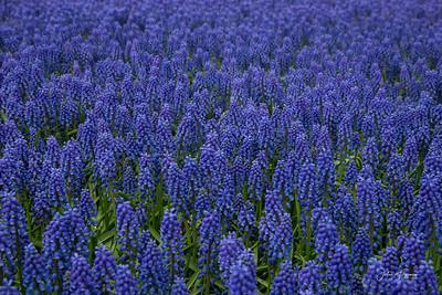 Grape Hyacinths, Holland