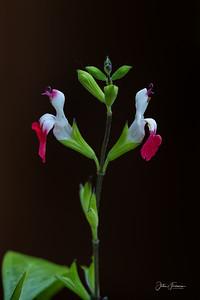 Salvia 'Hot Lips', Hampshire