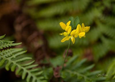 Bird's-foot Trefoil, New Forest