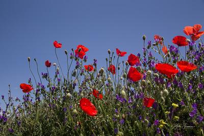 Wild poppies, Spain