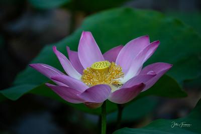Sacred Lotus, Bogor