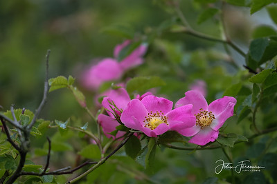 Wild Rose, Newhaven