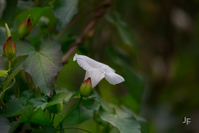 Large Bindweed, Suffolk