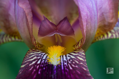 Bearded Flag Iris, Gers