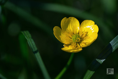 Buttercup, Suffolk