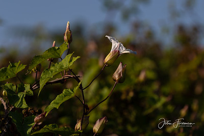 Large Bindweed, Dorset
