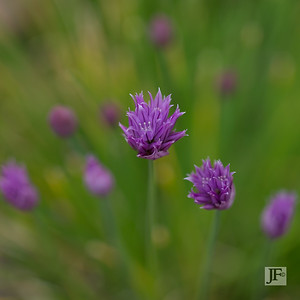 Chives, Suffolk