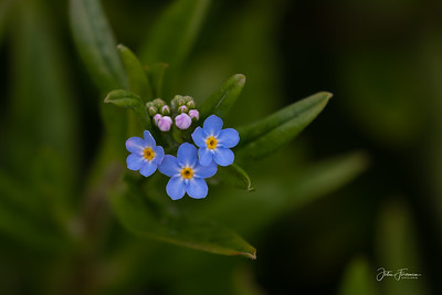 Forget Me Not, Hampshire