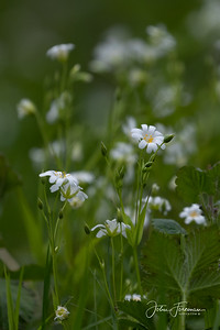 Greater Stitchwort, West Sussex