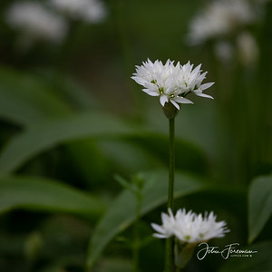 Wild Garlic, West Sussex