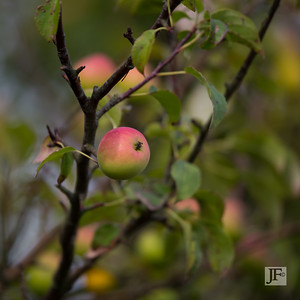 Crab apples, New Forest