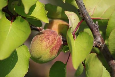 Nectarine, Majorca