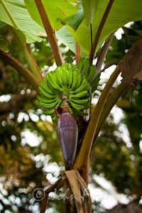 Bananas, Thailand