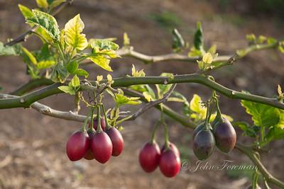 Tree tomatoes, Madeira