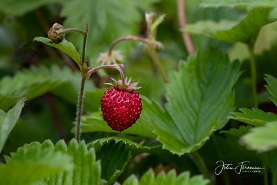Wild Strawberry, Devon