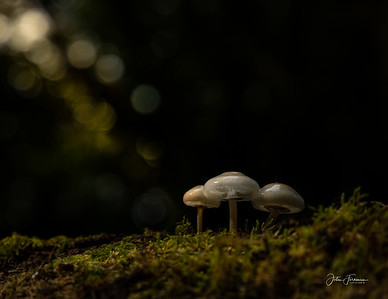 Porcelain Fungus, New Forest