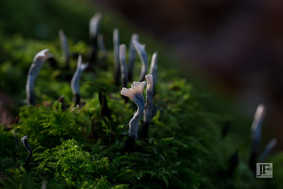 Candle Snuff Fungus, Micheldever