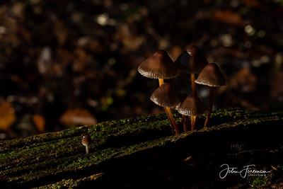 Clustered Bonnet, New Forest