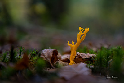 Yellow Stagshorn, New Forest