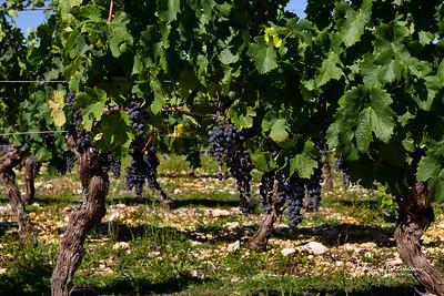 Malbec vines, Cahors