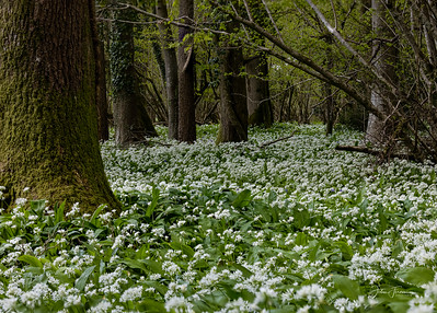 Wild Garlic, Wiltshire