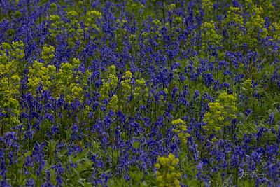 Wood Spurge, Wiltshire